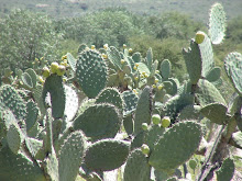 Native Prickly Pear