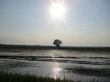 The Rice Paddies