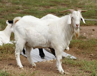 kambing atau wedhus