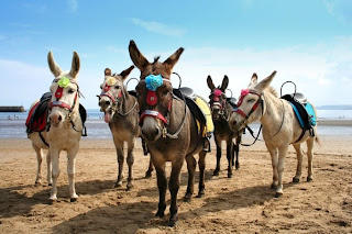 The donkeys didn't like the look of the new holiday-makers