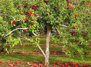 apple tree1