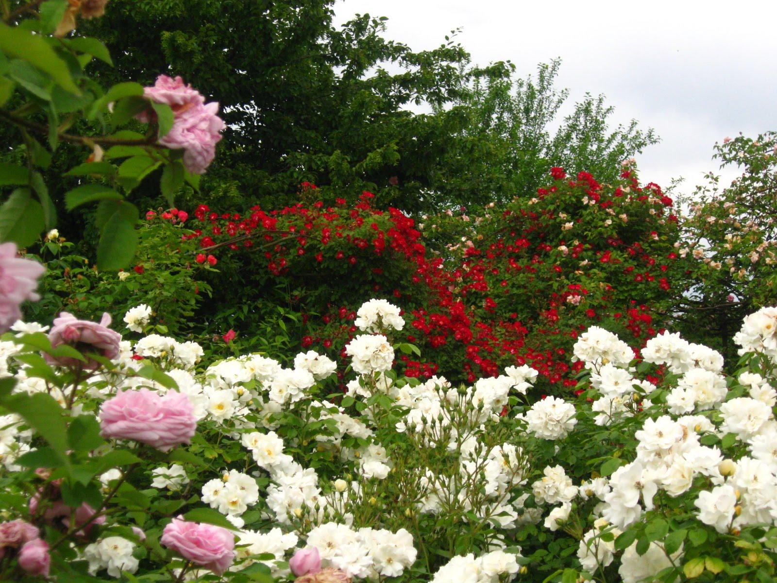 Renato photoblog giardino rosa mundi - Giardino con rose ...