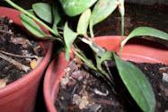 Plantas de Copihues