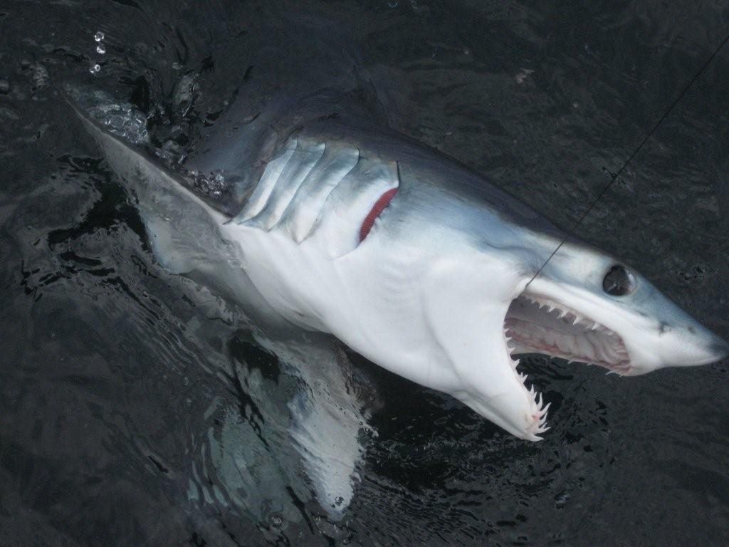 Friends of the bay shark fishing in montauk for Montauk shark fishing