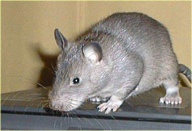 usir tikus dengan daun sirsak