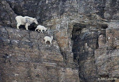 mountain goats foto