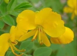 fleur cassia