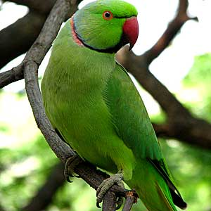 Indian Green Parrot http://jangalindia.blogspot.com/2010/10/beautiful-parrot.html
