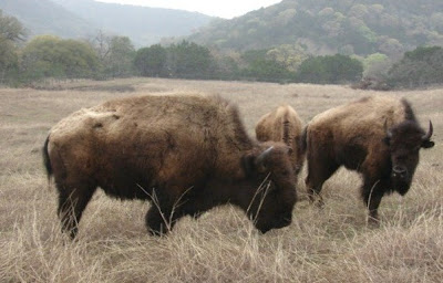 bison at Madrono Ranch