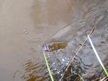 Nice fish on the worm