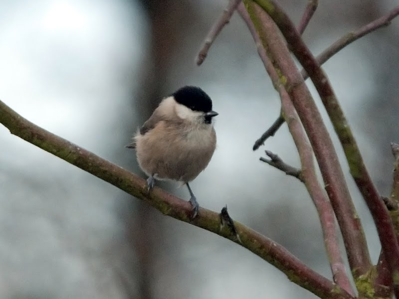 Marsh Tit. Another weekend packed full of birding, with mixed results.