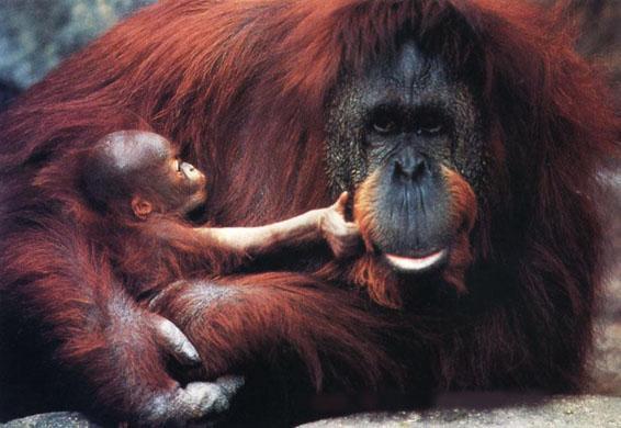 Eu quero... - Página 2 Orangotanto%2Bcom%2Bprole