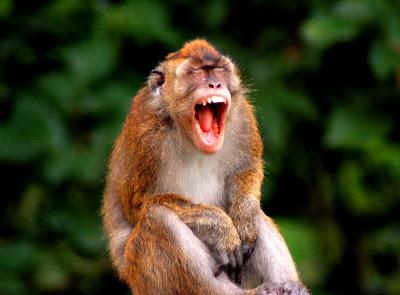 bared teeth monkey