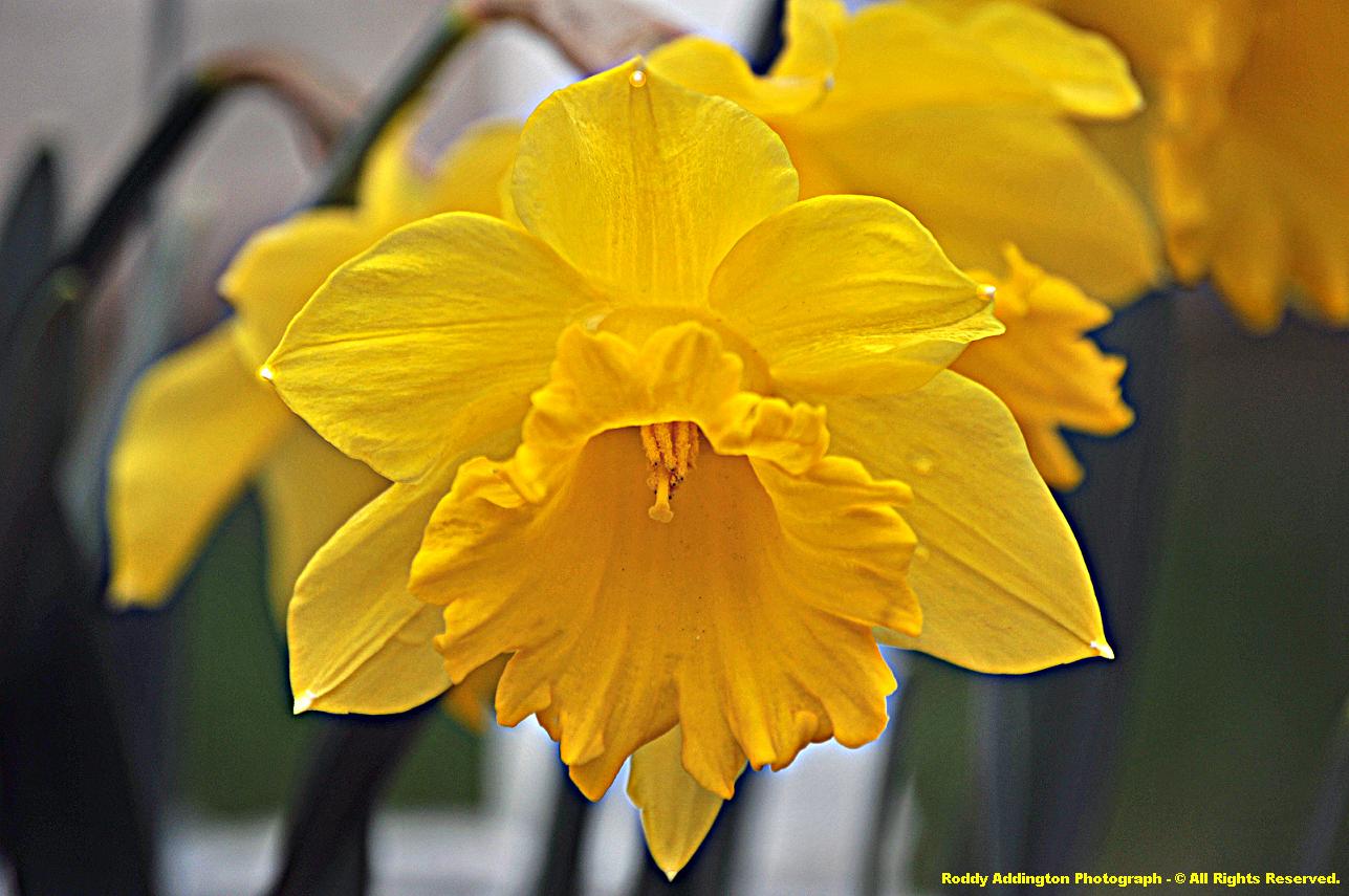 http://3.bp.blogspot.com/_iABBmWtUYhc/S61vv20kzfI/AAAAAAAABXg/7H3myByQHYg/s1600/Spring+Daffodils+(+Narcissus+pseudonarcissus+)++-+032310+PM+-+Roddy+Addington+PNG++2.png