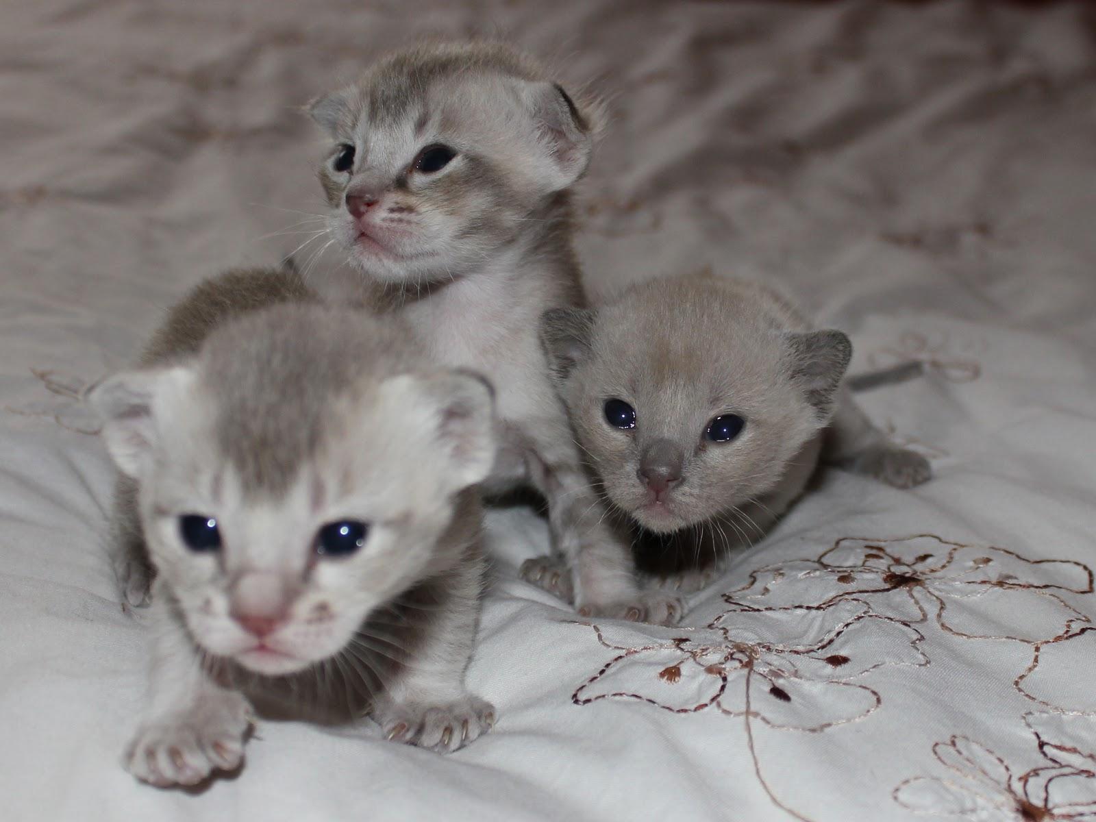 palm civet cat