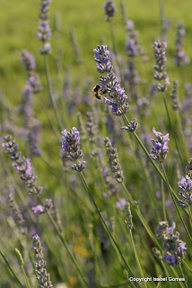 A little bit of lavender goes a long way. Otherwise this edible flower can taste a bit soapy.
