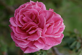 Even the Ancient Romans enjoyed roses as an edible flower.