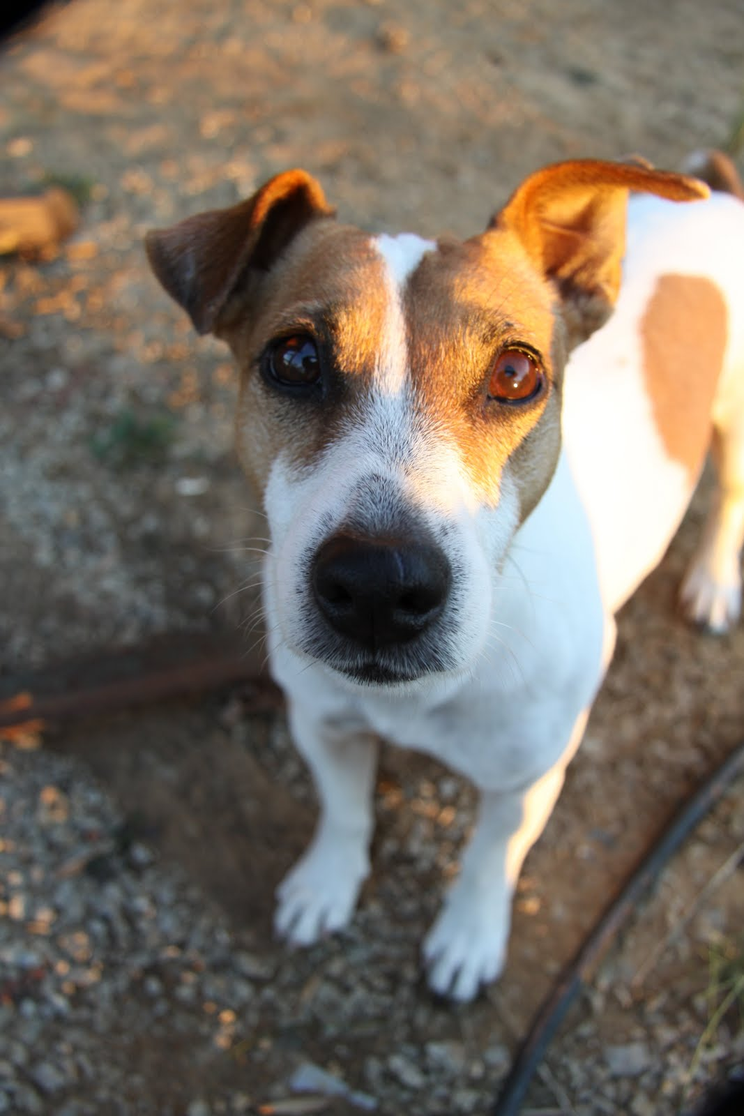 how to get jack russell like other dogs