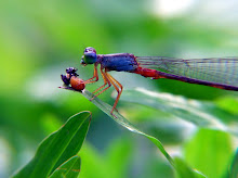 Damselfly, blue and red5