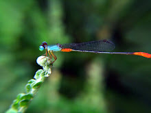 Damselfly, blue and red8