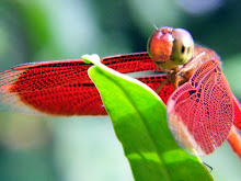 Liver red dragonfly3
