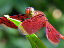 Liver red dragonfly4