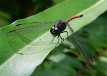 Blackstripe red dragonfly6