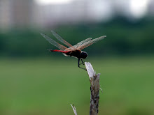 Brown and red dragonfly2