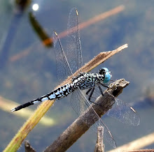 Blue and black dragonfly2