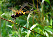 Bumblebee dragonfly2