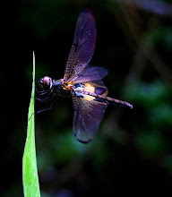 Bumblebee dragonfly8