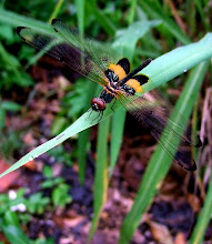 Bumblebee dragonfly6