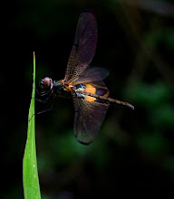 Bumblebee dragonfly7