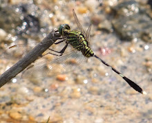 Green and black dragonfly2