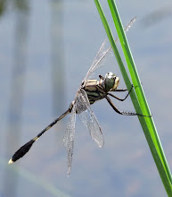 Green and black dragonfly4