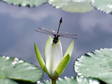 Green and black dragonfly9