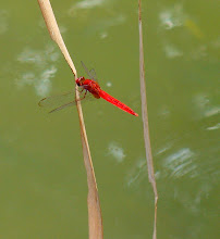 Red dragonfly4