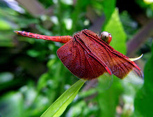 Liver red dragonfly8