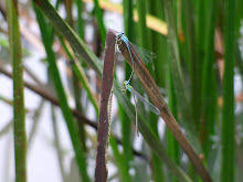 Blue Damselfly mating4