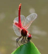 Red Dragonfly6