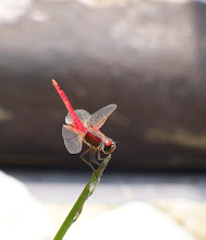 Red Dragonfly8