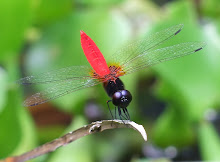 Brown and Red Dragonfly5