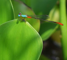 Damselfly Blue and Red20