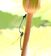 Black Damselfly mating1