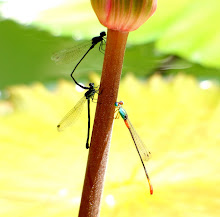 Black Damselfly mating2