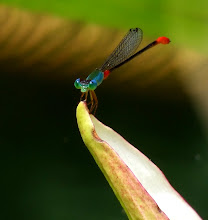 Damselfly, Blue and Red22
