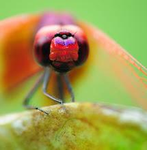 Maroon Dragonfly6