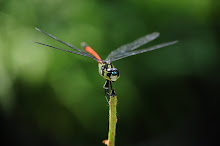 Blackstripe red Dragonfly9