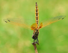 Gold Dragonfly11