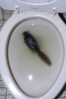 Dead squirrel in toilet